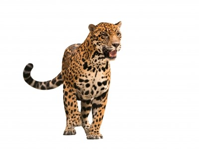 leopard cryptic